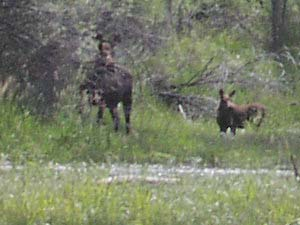 Moose near Jefferson River, MT.