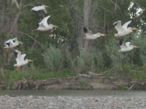 Pelicans take flight on Jefferson River, MT.
